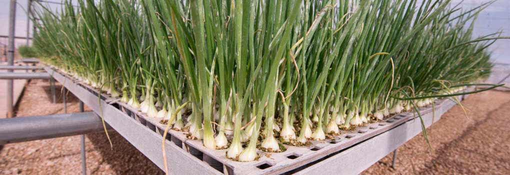 Semillero de cebollas