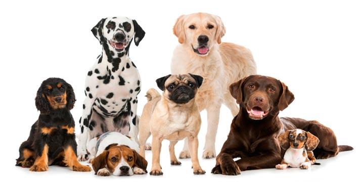 Como-saber-la-Raza-de-mi-Perro